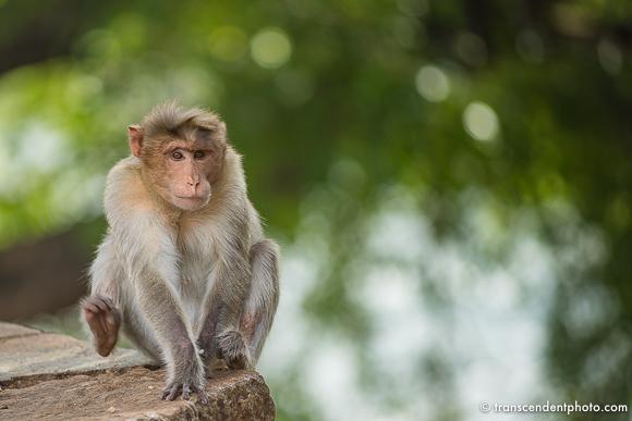 Małpy złodziejki, nieodłączne towarzyszki ludzkiego życia.