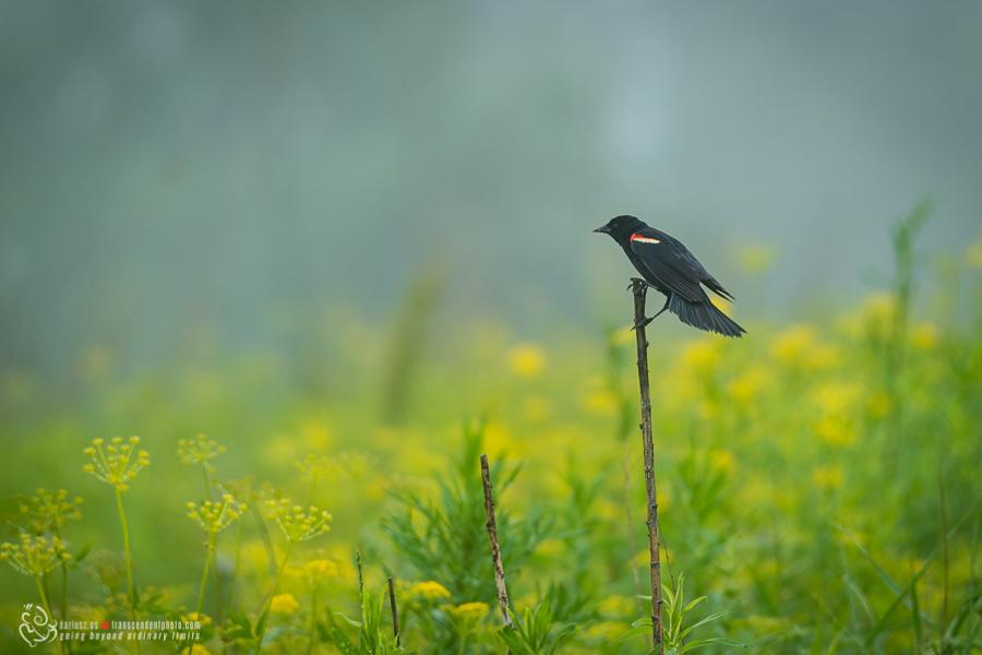 ptak o czarnych skrzydlach
