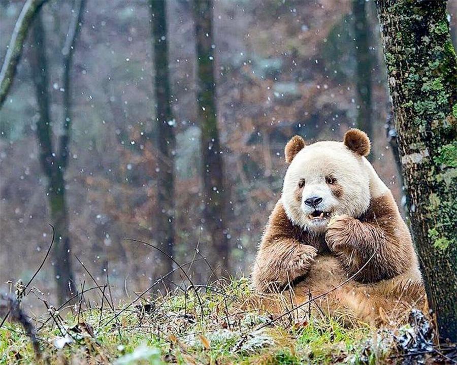 last panda