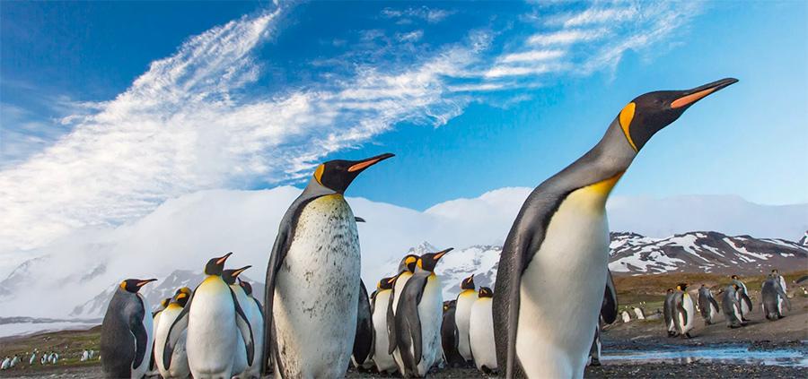 maszeruja ostatnie pingwiny