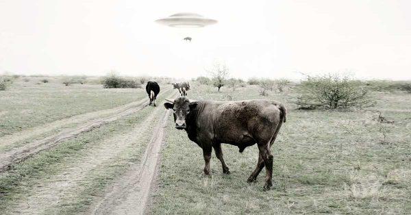 Fotografia przedstawia uprowadzenie krowy przez UFO